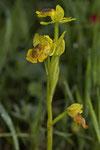 Phrygana-Ragwurz (Ophrys phryganae)