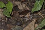 Costa Rica-Ochsenfrosch (Leptodactylus savagei)