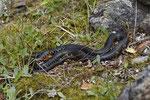 Zornnatter oder Karbonarschlange (Hierophis [viridiflavus] carbonarius)