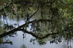 Epiphyten auf einem über den Río Puerto Viejo hängenden Baum