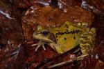 Grasfrosch-Weibchen
