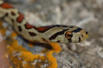 Leopardnatter (Zamenis situla), Weibchen