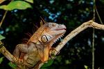 Grüner Leguan (Iguana i. rhinolopha), Männchen, etwa 200 cm