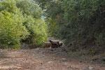 Schafe im Buschwald