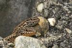 Pärchen der Mauereidechse, oben Weibchen, unten Männchen