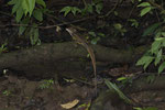 Helmbasilisk (Basiliscus basiliscus), Männchen