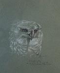 451 Harpyenadler, der König der Raubvögel des Südamerikanischen Regenwaldes (2007), 32x43 cm, Pastellkreide auf Tonpapier