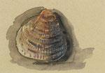 636 Muschel (Datum unbekannt), 10x15 cm Aquarell farbig