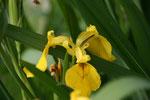 Iris im Wasserpflanzenbeet