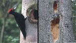 ... Schwarzspecht (Dryocopus martius) ...