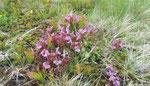 Pedicularis sylvatica - hier bei Karlstift - ist, wie die Arnika, eine Zeigerart für stark gefährdete artenreiche montane Borstgrasrasen.