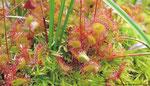 ... des Rundblättrigen Sonnentaus (Drosera rotundifolia) und weiterer gefährdeter, an die Moorlebensräume angepaßter Arten.
