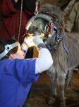 Behandlung der Backenzähne und Reinigung der Maulhöhle