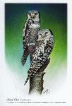 オナガフクロウ イラスト 日本の野鳥 制作 イラストレーター たぶき正博 絵はがき