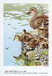 カルガモ親子 イラスト 日本の野鳥 制作 イラストレーター たぶき正博 絵はがき