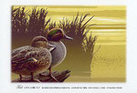 コガモ イラスト 日本の野鳥 制作 イラストレーター たぶき正博 絵はがき