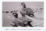 ヒドリガモ イラスト 日本の野鳥 制作 イラストレーター たぶき正博 絵はがき