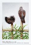 キジバト イラスト 日本の野鳥 制作 イラストレーター たぶき正博 絵はがき