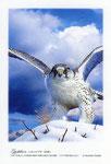 シロハヤブサ イラスト 日本の野鳥 制作 イラストレーター たぶき正博 絵はがき