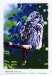 フクロウ イラスト 日本の野鳥 制作 イラストレーター たぶき正博 絵はがき