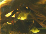 Myleus schomburgkii, Schomburgk's Scheibensalmler Var. 1, im Bestand, Foto: Aquatilis, Peter Jaeger