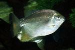 Myleus sp.aff. torquatus, Foto: W. Schlader