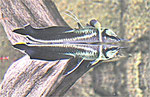 Osteoglossum ferreirai, schwarzer Arowana, WF, immer wieder im Bestand, Foto: Aquatilis, Norbert S.