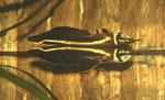 Osteoglossum ferreirai, schwarzer Arowana, WF, immer wieder im Bestand, Foto: Aquatilis, Hendrik P.