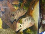 Nandopsis urophthalmus, Schwanzfleck - Buntbarsch, 22 - 26 cm im Stock