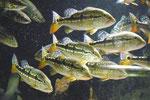 Cichla pinima, WF, im Stock, Foto: Aquatilis, Peter Jaeger