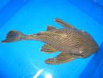 L190 - Panaque nigrolineatus sp. - 35 cm - im Bestand