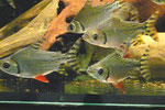 Semaprochilodus taeniurus, Nachtsalmler, WF, im Bestand, Foto: AQUATILIS, Peter Jaeger