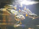 Cichla pinima, im Stock, Foto: Aquatilis, Peter Jaeger