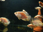 Astronotus ocellatus, Oscar, Red Tiger, Albino, im Bestand, Foto: AQUATILIS, Peter Jaeger