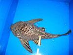 L190 - Panaque nigrolineatus sp. - 38 cm - verkauft