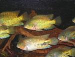 Vieja synspila, 16-22 cm, im Bestand
