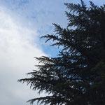 気持ちのいい木陰をつくってくれたヒマラヤ杉。