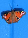 Schmetterling auf den blauen Fellläden gelandet