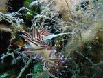 Wander-Fadenschnecke (cratena peregrina)