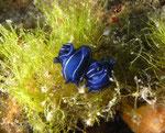 Dreifarbige Sternschnecke (hypselodoris tricolor)