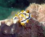 Strichel-Seewalze (bohadschia graeffei) - imitiert die Nacktschnecke phyllidia varicosa
