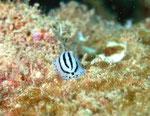 Warzenschnecke (phyllidiopsis phiphiensis), kommt nur im  Andamenmeer vor