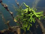 Süßwasserschwamm (spongilla lacustris)