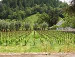 自然豊かなブドウ畑