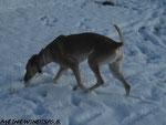 Schnüffelsuchen im Schnee...macht ein...