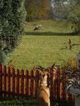 Lucy der Cattledog :))