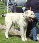 irischer Wolfshund in weiß