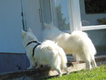 Nach kurzer Zeit bilden Riga und Berry ein Team beim bewachen des Gartens: Riga bellt, Berry rennt...