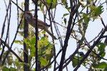 Dorngrasmücke im Gebüsch.