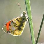 Aurore de Provence (Anthocaris euphenoides)